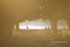 Enchantment (LawrieBrailey) Tags: morning light red wild orange mist male photography dawn photo nikon stag 5 wildlife wide wideangle deer 300mm adobe nikkor d3 afs lightroom rut f40 lawrie brailey nonvr