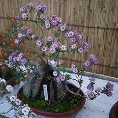 Kiku (Chrysanthemum × morifolium) (s.itto) Tags: november autumn purple bonsai chrysanthemum herbaceous asterceae