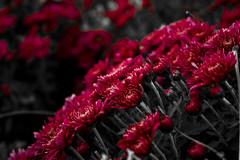 Flowers 1 (eyubince) Tags: pink flowers red plant nature beauty canon turkey eos trkiye depthoffield foliage amateur ankara beginner iekler bitki krmz doa pembe balang gzellik amatr 1100d alanderinlii