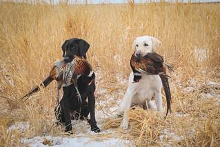 South Dakota Luxury Pheasant Hunt - Gettysburg 77