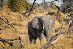 framed by nature (Jose Antonio Pascoalinho) Tags: africa wild elephant nature animal fauna outdoor wildlife biosphere bull botswana wilderness biodiversity bigfive paquiderme safariphotography zedith leroulatau