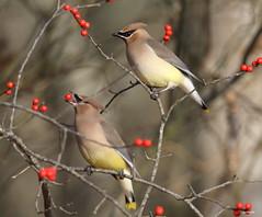 """Cedar Waxwing"" ""Bombycilla cedrorum"" (jackhawk9) Tags: nature birds canon newjersey wildlife ngc cedarwaxwing bombycillacedrorum edwinbforsythenationalwildliferefuge jackhawk9"
