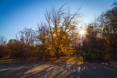 early morning light over ginkgo biloba (Danielle_M_Bedics) Tags: morning blue winter shadow sky sunlight tree nature sunshine yellow sunrise morninglight frost shadows branches lawn arboretum solstice ginkgobiloba sunray morningsun naturephotography lightmagic