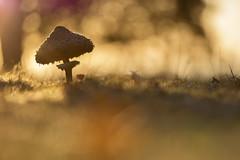 Parasole (Daniel Trim) Tags: mushroom fungi parasole autumn nature hitch wood hertfordshire uk england