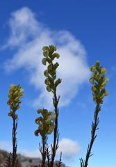Coiled Clouds (Sotosoroto) Tags: dayhike hiking mtrainier burroughsmountain washington cascades mountains flower lousewort pedicularis contorta