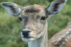 Doe eyes (Janne Fairy) Tags: original doeeyes doe eyes deer rehaugen reh hirsch wildtier wild animal tier tiere capreolus capreoluscapreolus nose ears augen nature natur roedeer canon500d canon eos500d depthoffield schrfentiefe