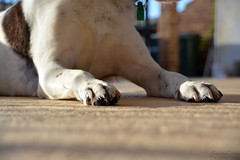 DSC_0288-1 (ScootaCoota Photography) Tags: dog pet animal border coliie labrador mutt rescue adopt dont shop outdoors paws feet macro