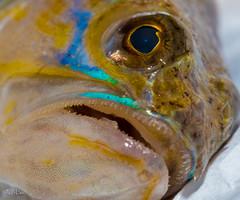 Fish (jbmino) Tags: fish jbmino jb mino macro color colorful eye blue brown mouth dead animal animals wild nature