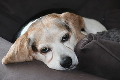 Looks Like Flappy had a Busy Weekend - October 23, 2016 (cseeman) Tags: flappy flapjack beagle dog pets tired couch sofa blanket