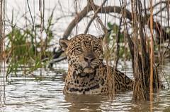 Jaguar (Tim Melling) Tags: jaguar pantanal geoff water brazil timmelling