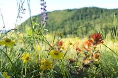 Colorful Bouquet (gwendolyn.allsop) Tags: flowers lupine indian paintbrush blooms wildflower nature spring colors