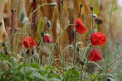 Brrrh... (nikjanssen) Tags: poppies red cold mist autumn mais maize klaprozen