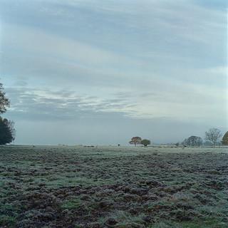Cows in frosty mist.