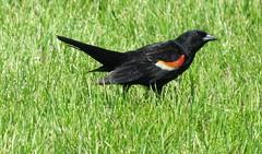IMG_3127 (bobclark330) Tags: 4star lakepark parks redwingedblackbird walks