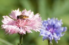 Helophilus pendulus-Gewone pendelvlieg (Den Batter) Tags: nikon d7200 oss helophiluspendulus gewonependelvlieg zweefvlieg hoverfly