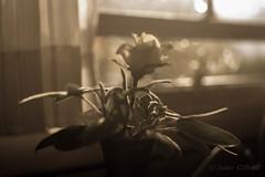 Sage Rose with Bokeh (artseejodee) Tags: rose bokeh herbs sepiatone canon september depthoffield softlight summer sage interior food latesummer texture fresh white light kitchen