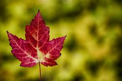 Classic Autumn (flashfix) Tags: october192016 2016 2016inphotos nikond7000 nikon ottawa ontario canada 40mm maple leaf nature mothernature bokeh autumn fall red green yellow mapleleaf