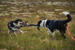 28august_Hringur&Venus_lastPlay_189 (Stefán H. Kristinsson) Tags: hringur venus august 2016 play leikur last reykjanes patterson iceland ísland