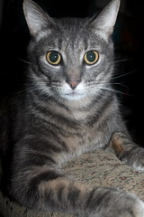 Hanate photo of the day 10/17/2016 (Patches Madison) Tags: hanate cute sweet gray tabby adorable