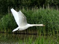 Mute Swan - Cygnus olor 5.10 (ericy202) Tags: muteswan cygnusolor flight norfolk