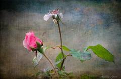 19 novembre 2016 ...in campagna, dopo la pioggia (adrianaaprati) Tags: rosaantica rosa petal petals campagna countryside poesia poetic poetry pioggia rain gocce drops texture pianta kerstinfrank