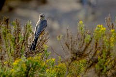 Is this an Angry Bird? (Michael Bateman) Tags: bird california malibu places pointdume wildlife unitedstates us