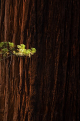 Epicormic (Brian Truono Photography) Tags: bigtrees nps nationalpark nationalparkservice sierranevada bark big biology botany branch epicormic forest green landscape large light meadow mountains natural nature offshoot red sequoia sunlight tree trees wood woods