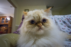 No More Curiosity (JeffMoreau) Tags: caturday kitten luna cat grumpy curiosity
