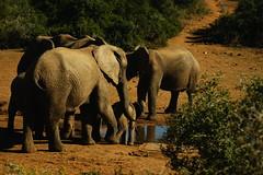 DSC03818 (Emily Hanley Photography) Tags: elephant elephants addo elephantpark nationalpark sa southafrica africa photography colour warthogs buffalo zebra waterhole rawimages raw nature naturalphotography animals animal