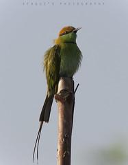 Green Bee Eater (Afaque's Photography) Tags: greenbeeeater birds wild wildlife pakistan kathore karachi sindh birding