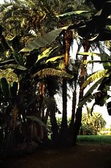 Ägypten 1999 (483) Luxor: Gezira el-Mozh (Banana Island) (Rüdiger Stehn) Tags: afrika ägypten egypt nordafrika 1999 winter urlaub dia analogfilm scan slide 1990er 1990s oberägypten südägypten aṣṣaʿīd diapositivfilm analog kbfilm kleinbild canoscan8800f canoneos500n 35mm luxor مصر landschaft palmen pflanzen bananaisland bananeninsel insel geziraelmozh الأقصر aluqṣur reise reisefoto rüdigerstehn