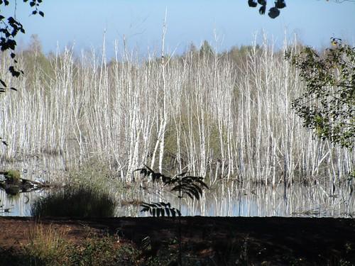 Moor-Birken versinken im Wasser, Neustadt am Rübenberge , NGIDn1086943949
