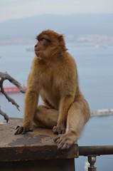 Barbary Macaques (Macaca sylvanus) (Neal D) Tags: gibraltar britishoverseasterritory monkey barbarymacaques macacasylvanus barbaryape upperrock gibraltarnaturereserve animal