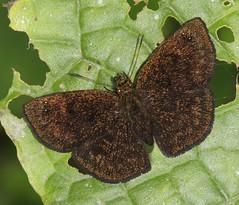 Staphylus sp. (Birdernaturalist) Tags: butterfly carcharodini ecuador hesperiidae lojazamoraroad pyrginae richhoyer zamorachinchipe