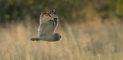 Short-eared Owl (KHR Images) Tags: shortearedowl wild bird birdofprey inflight flying hunting sunshine sunlight fenland cambridgeshire fens eastanglia wildlife nature nikon d7100 kevinrobson khrimages