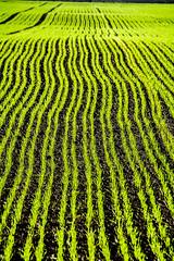 Grünstreifen (Nihil Baxter007) Tags: onion field feld bauer bauern streifen green grün nature natur stripes zwiebelfeld zwiebel anbau grow wachsen