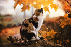 mimicry :) (clo dallas) Tags: feline animals nature cat pet autumn autunno canon portrait outdoor leaves gold mimicry mimetismo