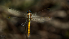 Sympetrum flaveolum - Dragonfly-Yusufçuk- 21 (Street Parrot) Tags: yellow flower blue animals summer animal fly insect wildlife dragonfly bug böcek yusufçuk pentax k10d da 300mm macro outdoor