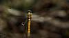 Sympetrum flaveolum - Dragonfly-Yusufçuk- 21 (omardaing) Tags: yellow flower blue animals summer animal fly insect wildlife dragonfly bug böcek yusufçuk pentax k10d da 300mm macro outdoor