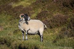 Scottish Blackface #2, Isle of Skye (Fabien Guittard) Tags: animal automne fall mammal mammifère mouton nature sheep travel voyage highlands scotland écosse skye
