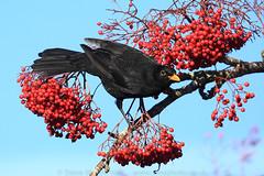 Blackbird (Steve Moore-Vale) Tags: blackbird turdusmerula berries berry norwich winter