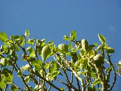 (Kill yr idols) Tags: higos hojas leaves branches ramas figs tree rbol nature sky naturaleza cielo verde azul