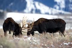 The Challenge (RH Miller) Tags: rhmiller reedmiller wildlife moose bullmoose grandtetonnationalpark wyoming usa