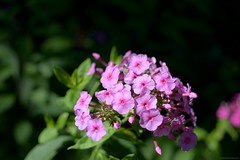 Pretty in Pink (matthewgestewitz) Tags: pink flowers flower art colors digital photography photo aperture nikon colorful raw bright bokeh wide smooth f28
