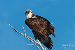August 2, 2015 - An Osprey in Longmont doesn't look too happy. (Tony's Takes)
