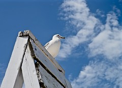 Standing Guard- Explore '15 #145  - Lighthouse Beach -  Evanston IL (Meridith112) Tags: summer cloud bird beach clouds illinois nikon seagull gull july bluesky lifeguard il explore northshore evanston cookcounty lifeguardstand ringbilledgull 2015 explored standingwatch nikon2485 nikond610 explore8202015