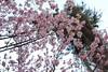 "Dia das Cerejeiras em Flor (Gilmar Hermes) Tags: flowers brazil flores flower fleur brasil fleurs de cherry sãopaulo flor blossoms blumen agosto sampa sp fiori 花 blume blomst brasile sanpablo sudamerica américadosul cerejeiras carmo floro cerezo brazilië 2015 amériquedusud zuidamerika цветок américadelsur südamerika parquedocarmo southamérica floroj sydamerika brazilo anbhrasaíl brazilija البرازيل דרוםאמריקה ubax أمريكاالجنوبية ברזיל amèricadelsud βραζιλία νότιααμερική sudameriko pietųamerika ""南美"" meiriceátheas ""南美""""巴西"" 「南米」「ブラジル」 søramerikaamerica sudbrazilia diadascerejeirasemflor daycherryblossoms díadelasfloresdecerezo jourcherryblossoms"