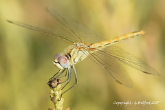 Corfu Dragonfly Macro (Holfo) Tags: insect dragonfly macro corfu greece dof depth field wildlife wings focus depthoffield outdoor serene greek eyes