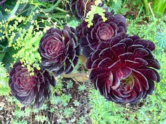 Aeonium arboretum, often referred to as Black rose, San Francisco Botanical Garden (ali eminov) Tags: sanfrancisco california plants gardens botanicalgardens succulents blackrose sanfranciscobotanicalgarden irishrose aeoniumarboreum