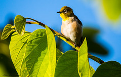 Japanese White Eye (trinstanprep) Tags: